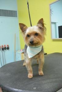 Bisou - photo courtesy of Hotdog Pet Salon